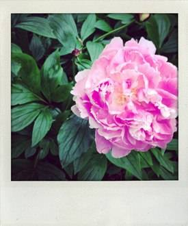 My peonies are out! I've waited all year for this week.